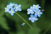 Forget Me Not, Ballater