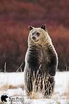 Grizzly bear cub standing on hind legs in late autumn. Bridger-Teton National Forest, Wyoming.