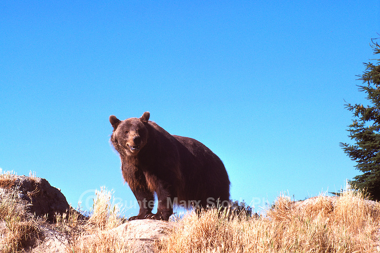 Kodiak Bear aka Alaskan Grizzly Bear and Alaska Brown Bear (Ursus arctos middendorffi) standing on Ridge