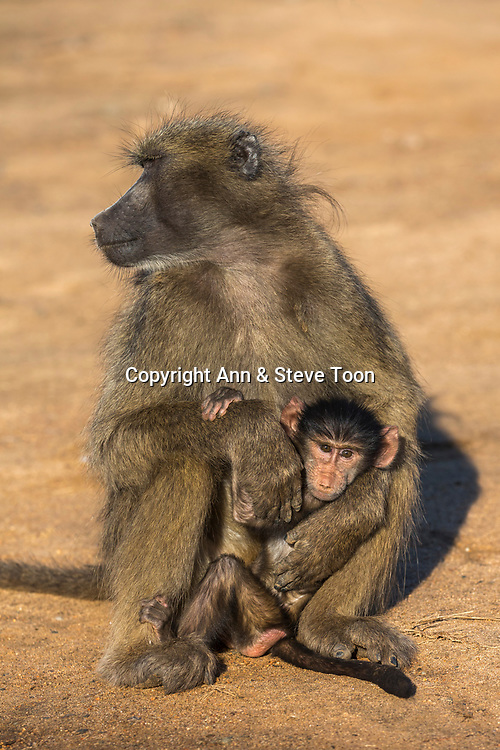 Chacma baboon (Papio ursinus) with young, Kruger national park, South Africa, May 2017