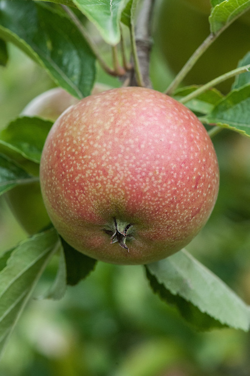 Apple 'Mabbott's Pearmain', mid August. A dessert apple from Kent, first described in 1883. Fruits have fairly crisp, juicy flesh with a slightly acid, pleasant aromatic flavour. For picking in mid September.