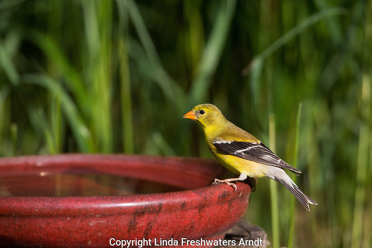 Female American goldfinch perched on a bird bath