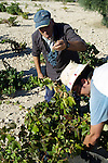 Workers in Miguel Esteban, Toledo, Spain, harvest Garnacha and Airen grapes. The small vineyard falls within D.O. La Mancha.