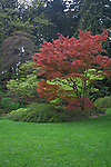 Seattle, WA <br /> Spring colored maple trees at lawn edge in the Washington Park Arboretum