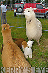 Lamas at the Kilgarvan agricultural show on Sunday.