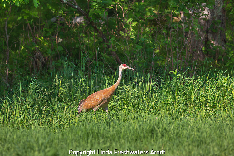 Sandhill crane walking in a meadow in northern Wisconsin.