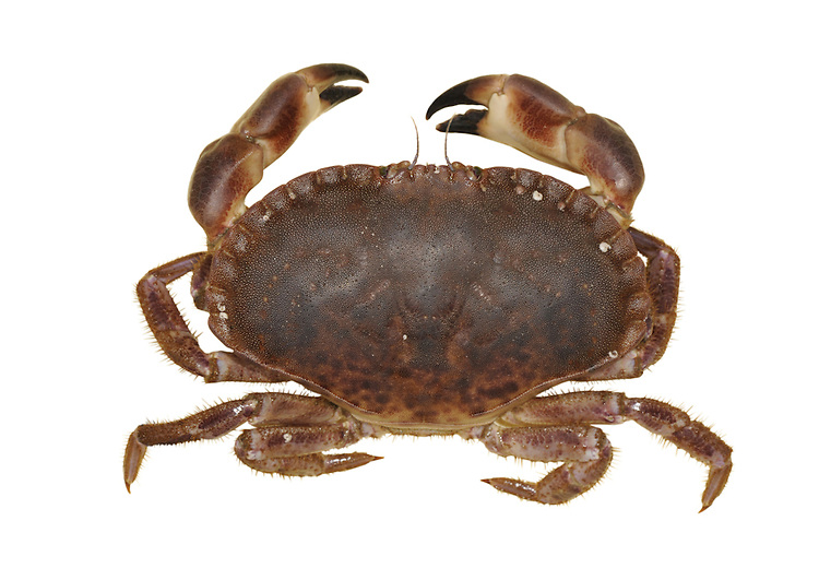Edible Crab - Cancer pagurus