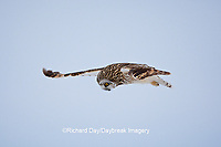 01113-012.18 Short-eared Owl (Asio flammeus) in flight at Prairie Ridge State Natural Area, Marion Co., IL