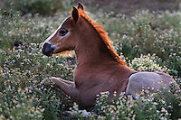 A young foal rests in a bed of chamomile flowers on WIld Horse Sanctuary.<br /> Dianne Nelson has saved mustangs on a ranch in northern California.  &quot;It was in 1978 that the Wild Horse Sanctuary founders rounded up almost 300 wild horses for the Forest Service in Modoc County, California. Of those 300, 80 were found to be un-adoptable and were scheduled to be destroyed at a government holding facility near Tule Lake, California. <br /> <br /> The Sanctuary is located near Shingletown, California on 5,000 acres of lush lava rock-strewn mountain meadow and forest land. Black Butte is to the west and towering Mt. Lassen is to the east. <br /> Their goals:<br /> Increase public awareness of the genetic, biological, and social value of America's wild horses through pack trips on the sanctuary, publications, mass media, and public outreach programs.<br /> Continue to develop a working, replicable model for the proper and responsible management of wild horses in their natural habitat.<br /> Demonstrate that wild horses can co-exist on the open range in ecological balance with many diverse species of wildlife, including black bear, bobcat, mountain lion, wild turkeys, badger, and gray fox.<br /> Collaborate with research projects in order to document the intricate and unique social structure, biology, reversible fertility control, and native intelligence of the wild horse.