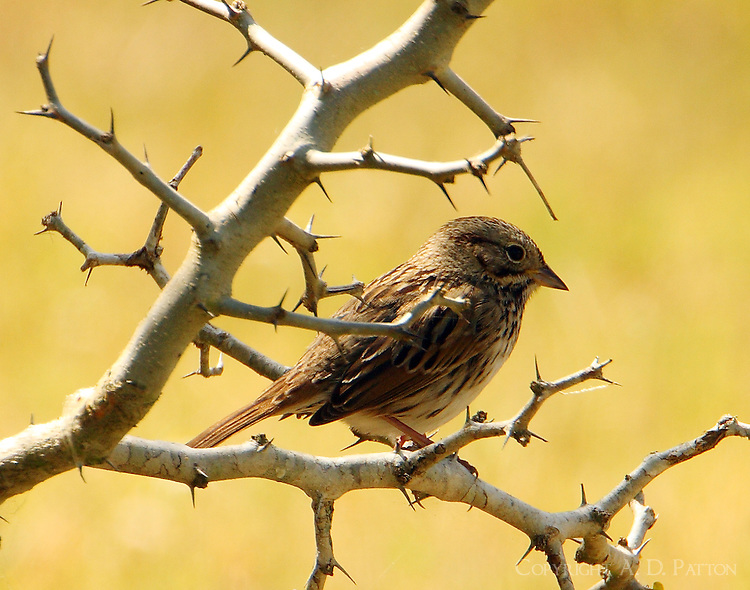 Lincoln's sparrow in thorn bush