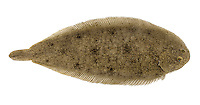 Sole Solea solea Length to 50cm <br /> Distinctive flatfish whose outline recalls a shoe sole. Found on sandy substrates on coasts and in estuaries. Adult lives with right side, and eyes, facing uppermost. Mouth is not terminal, upper pectoral fin has a black spot and skin is rough and patterned to look like sand and gravel. Anal fin has 61-74 rays, dorsal fin 65-78 rays. Black spot on upper pectoral fin is 'flashed' as fin is erected in alarm. This looks strikingly similar to 'warning' issued by Lesser Weever whose fin spines are venomous.  Widespread and locally common in S half of Britain; scarce further north.