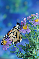 Monarch butterfly (Danaus plesxippus) on purple aster flowers