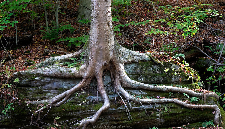 The roots of a tree cling to a rock.