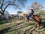 Cattle branding with the Dell'Orto family at the Ellis Ranch, Amador County, Calif.