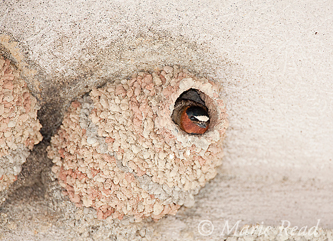 Cliff Swallow (Petrochelidon pyrrhonota) looking out  of its nest constructed of mud pellets, Mono Lake Basin, California, USA