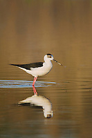 Black-winged Stilt, Himantopus himantopus, National Park Lake Neusiedl, Burgenland, Austria, April 2007