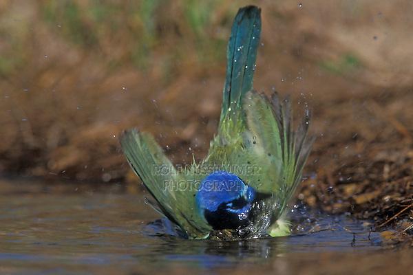 Green Jay, Cyanocorax yncas,adult bathing, Starr County, Rio Grande Valley, Texas, USA, March 2002
