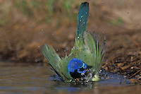 Green Jay, Cyanocorax yncas,adult bathing, Starr County, Rio Grande Valley, Texas, USA, March 2002