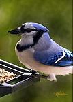 Close up of a Blue Jay sitting on a feeder showing the Jay's coloring, markings and wing feather layers. Blurred green background.