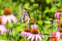 03017-01611 Giant Swallowtail (Papilio cresphontes) on Purple Coneflower (Echinacea purpurea) Marion Co. IL