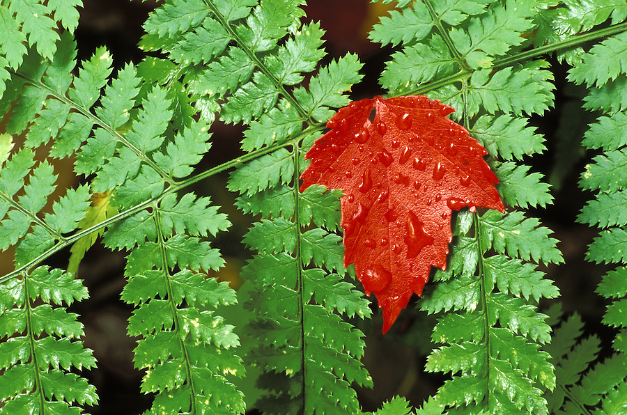 Red maple leaf on green ferns, Snowy Mountain Trail, near Indian River, Hamilton County, Adirondack State Park, NY