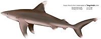 Oceanic white tip shark, Carcharhinus longimanus, illustration by the artist Wyland