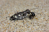 Dune Tiger Beetle - Cicindela maritima - with prey