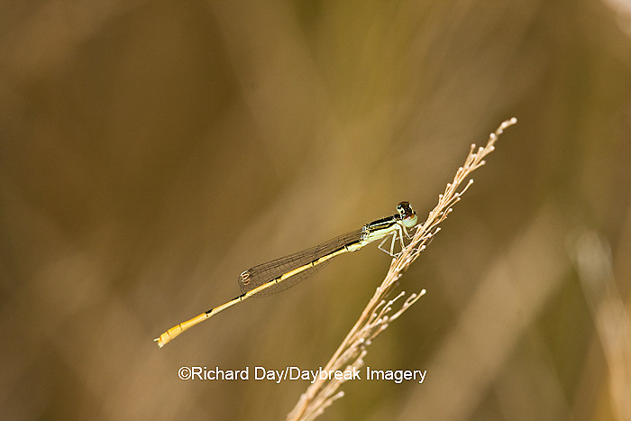 06323-00205 Citrine Forktail (Ischnura hastata) damselfly male Marion Co. IL