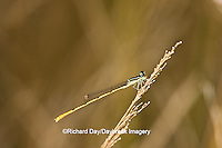 06323-00205 Citrine Forktail (Ischnura hastata) damselfly male Marion Co. IL