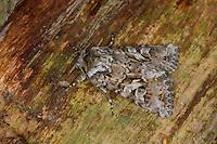 Zahneule, Hada plebeja, Mamestra dentina, Phalaena nana, Noctua dentina, Shears, Eulenfalter, Noctuidae