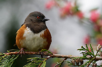 Male spotted towhee (Pipilo maculatus) perched on Western redcedar branch, Snohomish, Washington, USA