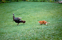 Tiger cat chases wild turkey across yard after a sneaky approach