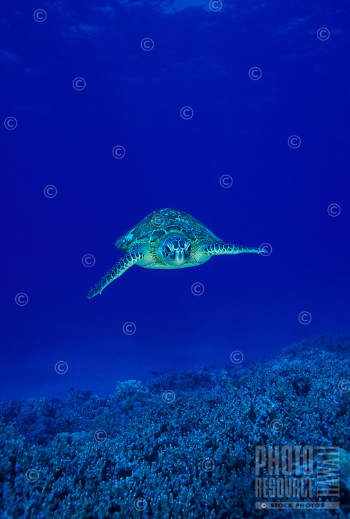 Hawaiian Green Sea Turtle swimming toward camera