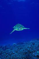 Hawaiian Green Sea Turtle swimming toward camera