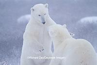 01874-13205 Polar Bears (Ursus maritimus) during snowstorm Churchill Wildlife Management Area, Churchill, MB
