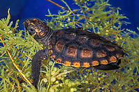 loggerhead sea turtle, Caretta caretta (c-r) hatchling hiding in clump of floating sargassum in open ocean between Florida and Bahamas, Caribbean (Western Atlantic Ocean)