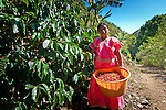 Panamanian Indian coffee picker working a coffee farm in San Marcos de Terrazu, Costa Rica.