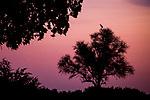 Marabou Stork (Leptoptilos crumeniferus) calling at sunset, Nkasa Rupara National Park, Namibia
