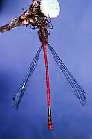 Frühe Adonislibelle, Adonis-Libelle, Männchen, Pyrrhosoma nymphula, large red damselfly