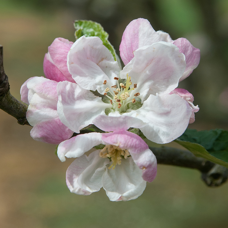 Blossom of Apple 'D'Arcy Spice', early May. An English dessert apple said to have been discovered at Tolleshund D'Arcy, Essex, in about 1785.