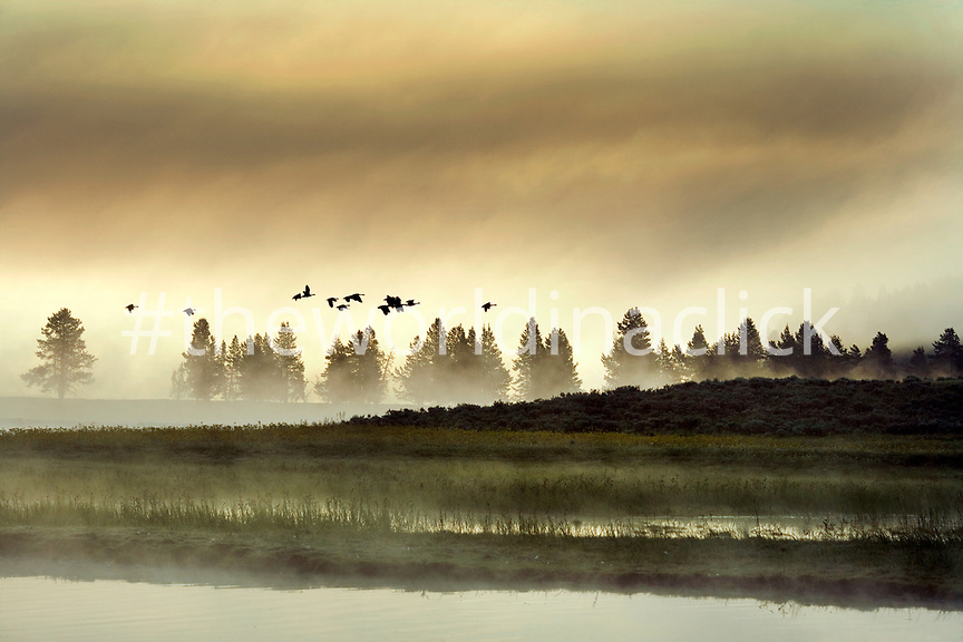 USA, Wyoming, flock of Geese flying over a field and the Yellowstone River at dawn, Yellowstone National Park