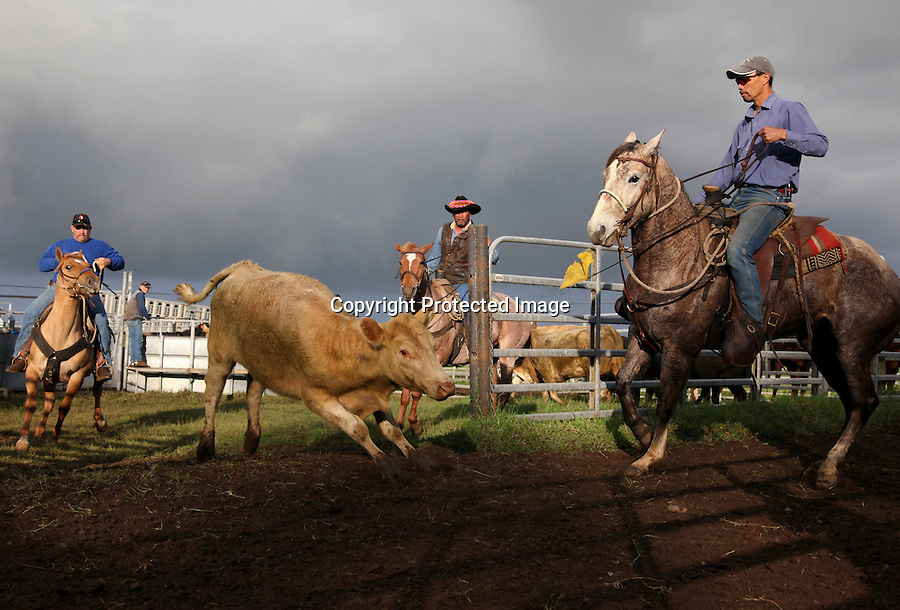From left, Timmy Farrera, Bernard Ho'opai and Wayne Tachera--all cowboys from different ranches--work together to separate calves from their mothers before branding, innoculating, tagging and in the case of males, castrating them at Ponoholo Ranch on the Big Island of Hawaii.  The cowboys gather before sunrise and often communicate with each other using Hawaiian words. The paniolo culture is partly responsible for preserving the Hawaiian language during a time when missionaries were trying to eradicate it.  Because cowboys gangs were predominantly Hawaiian but also included men from diverse ethnic backgrounds--Chinese, Filipinno, Caucasian, Portuguese, Puerta-Rican and Korean--Hawaiian became the unifying language.