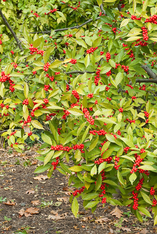 Ilex verticillata Winterberry with red berries in early spring with foliage, branches, clusters of berry fruit on shrub