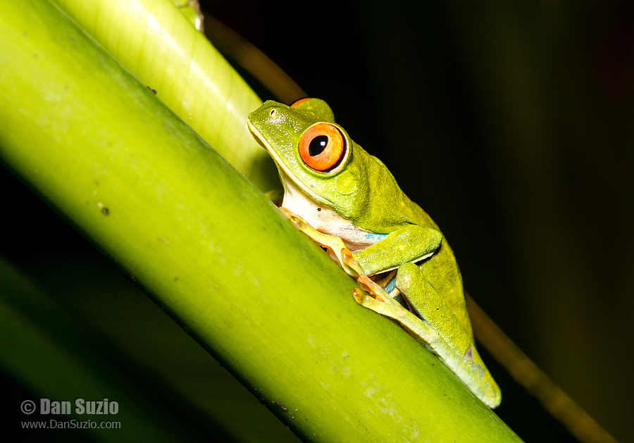 Red-eyed Treefrog, Agalychnis callidryas, in Tortuguero National Park, Costa Rica