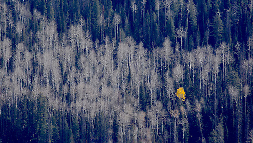 One last aspen tree still has its leaves during fall foliage at Dixie National Forest, Utah