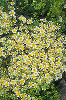 Limnanthes douglasii yellow and white annual flowers, Poached Eggs Flower