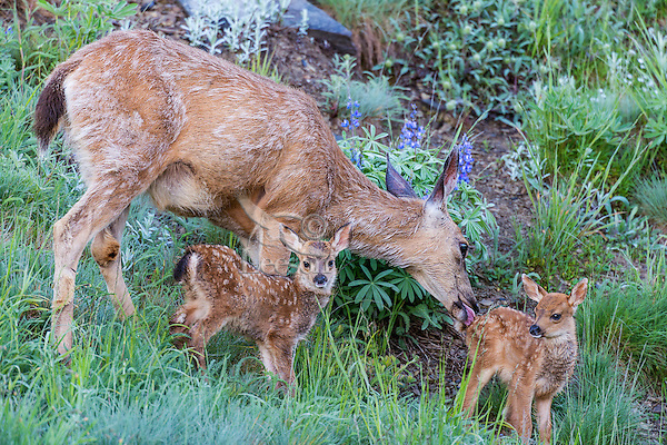 Columbian black-tailed deer (Odocoileus hemionus columbianus) doe with her young fawns--she is cleaning one with her tongue. Pacific Northwest.  Summer.