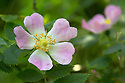 Dog Rose {Rosa canina} Devon, UK. June.