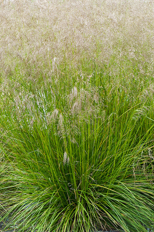 Tufted hairgrass (Deschampsia cespitosa 'Bronze Veil' or 'Bronzeschleier'), early July.