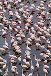 Lesser flamingos, Lake Magadi, Kenya